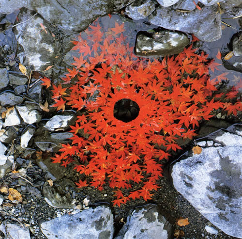 andy-goldsworthy-sugar-maple-leaves